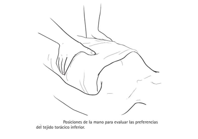 Diafragma abdominal: anatomía, evaluación, signos de disfunción ...