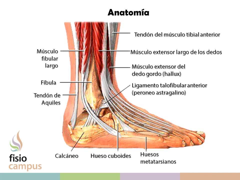 La inestabilidad crónica del tobillo | FisioCampus