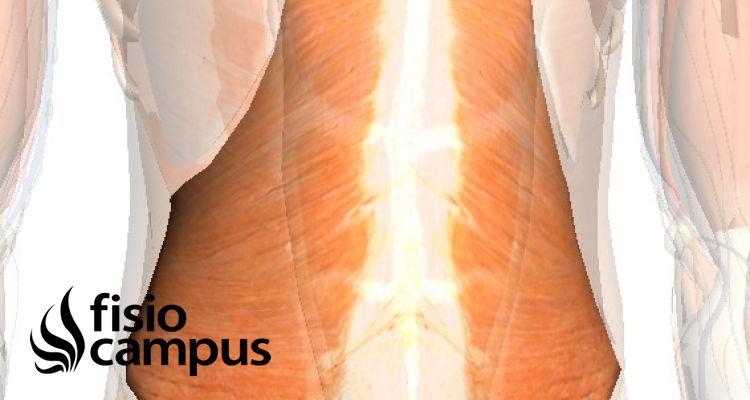 Papel del músculo transverso en el embarazo
