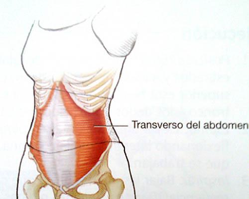 musculo transverso del abdomen origen e insercion